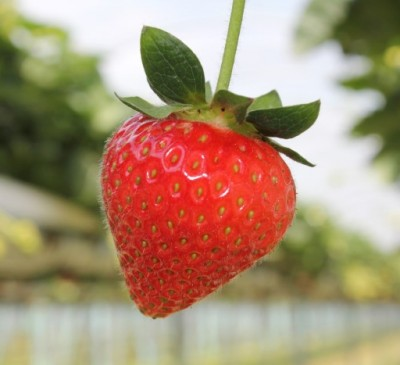 Warmer winter and spring mean an early summer –   British strawberries are now on supermarket shelves in abundance